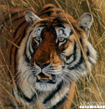 Bengal Tiger by Anthony Gibbs.